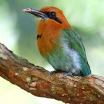 sleepy-cove-birds-broadbilledmotmot01