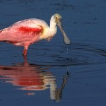 sleepy-cove-birds-roseatespoonbill01