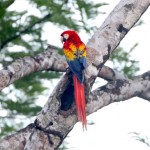 sleepy-cove-birds-scarlet-macaw01