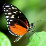 sleepy-cove-butterfly-Hecale-Longwing01