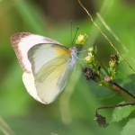 sleepy-cove-butterfly-florida-white01